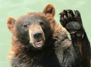 bear_waving_bear_252005_l