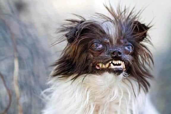 ugliest dog 2